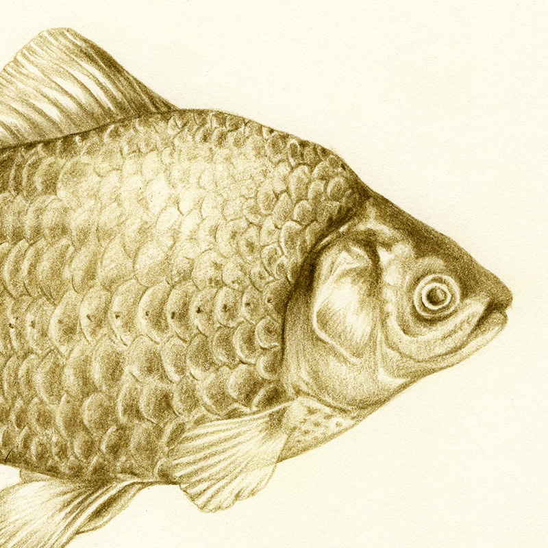 FISH | pencil on paper
