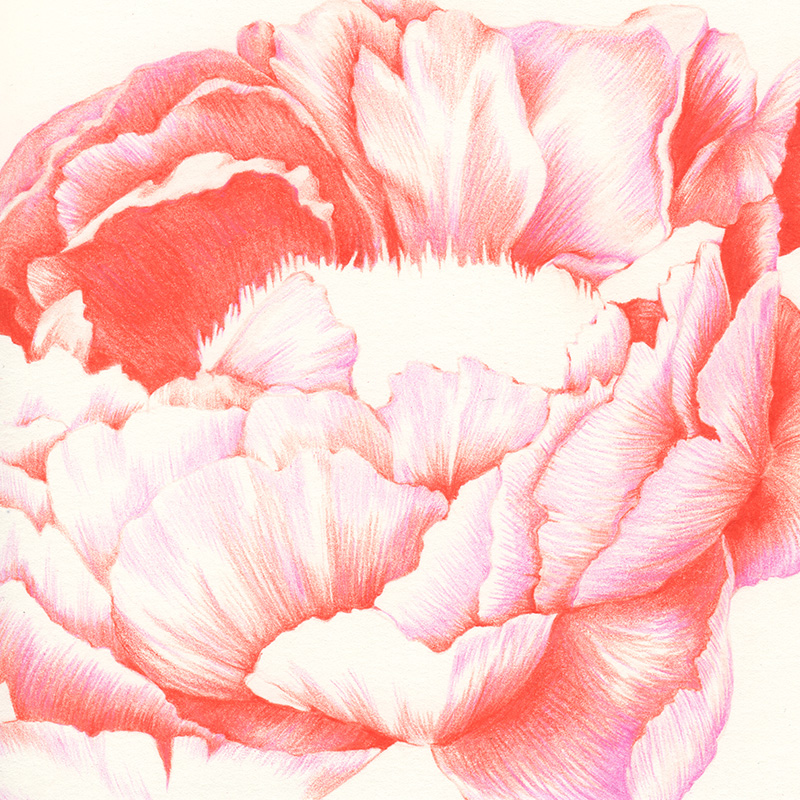 PEONY | pencil on paper